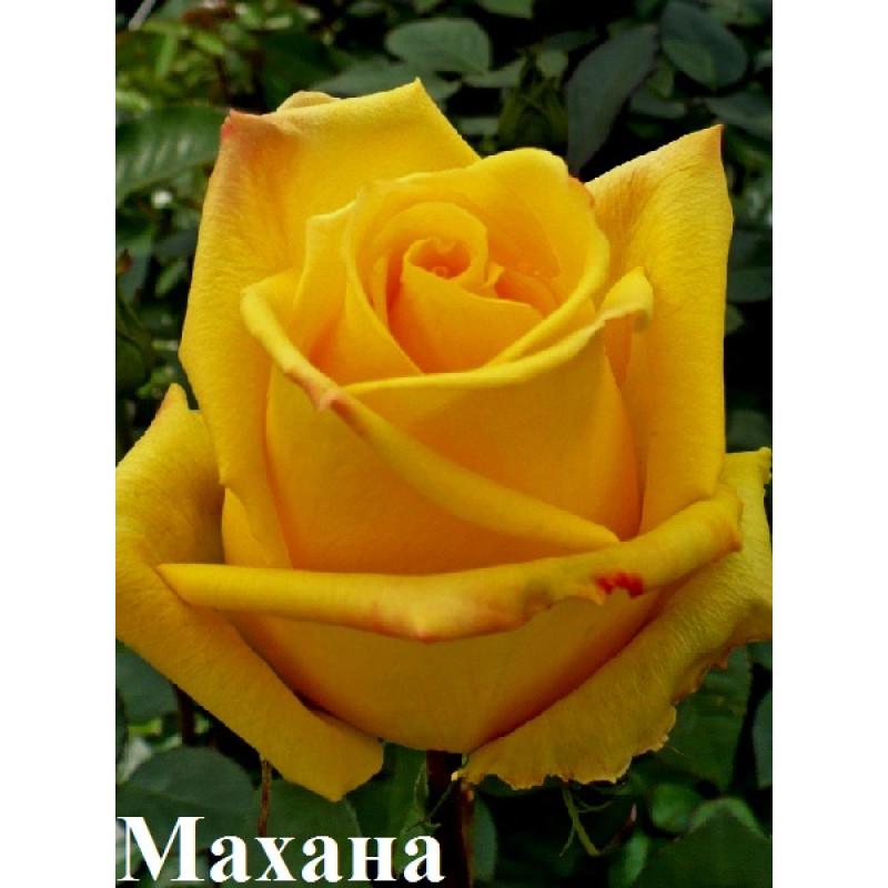 Махана