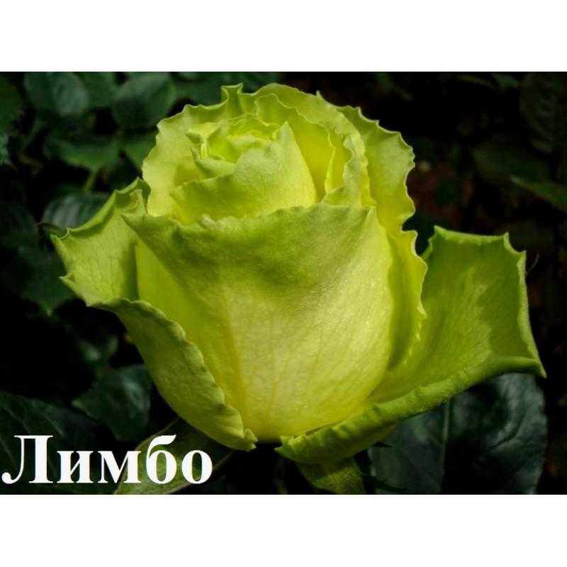 Лимбо