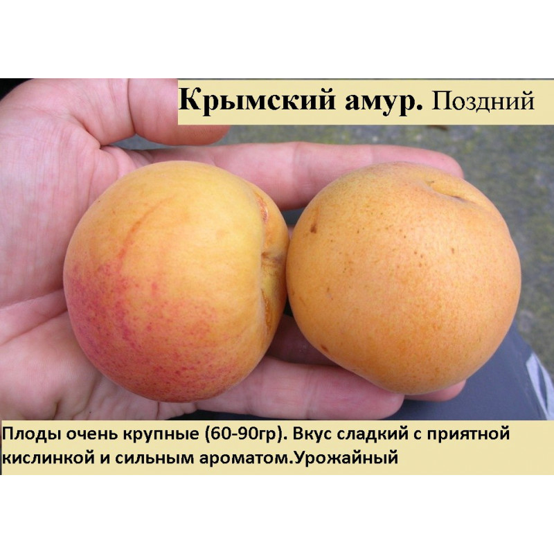 Крымский амур