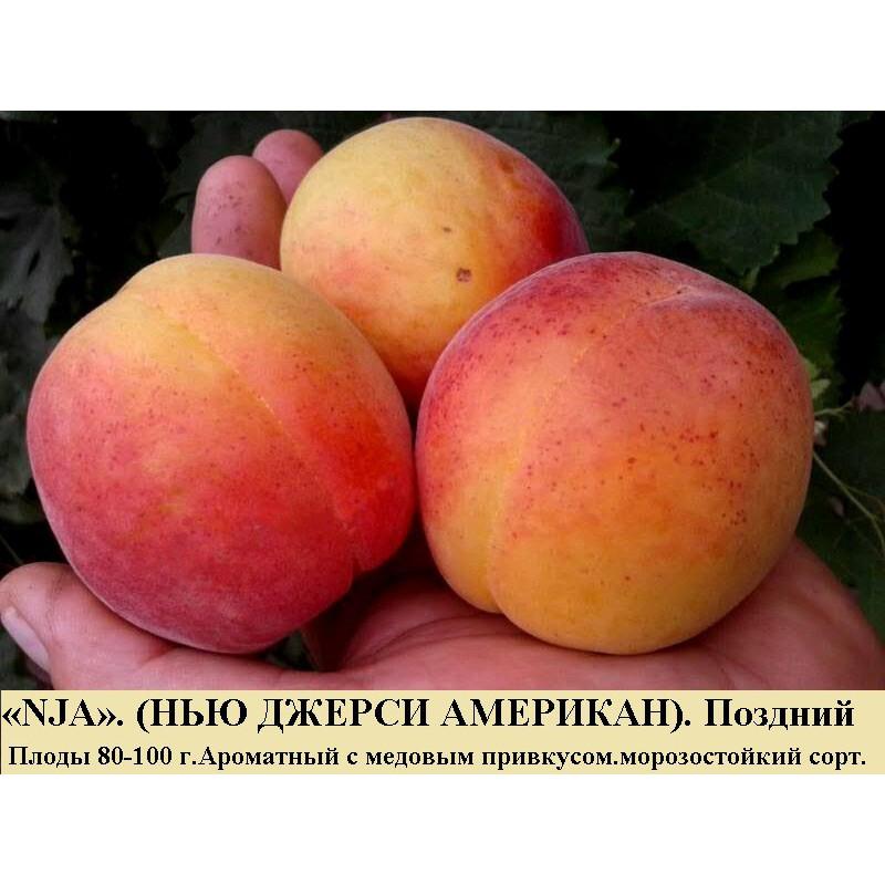 NJA - НЬЮ ДЖЕРСИ АМЕРИКАН