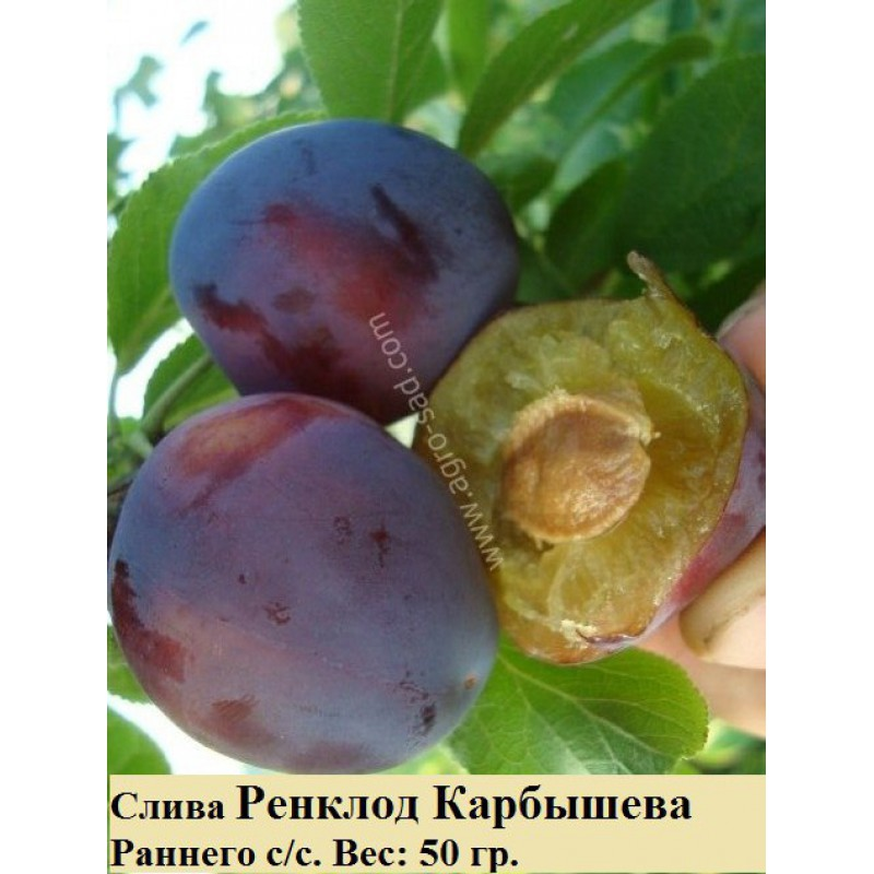 Ренклод Карбышева