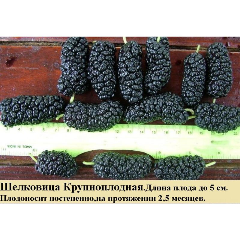Шелковица Крупноплодная